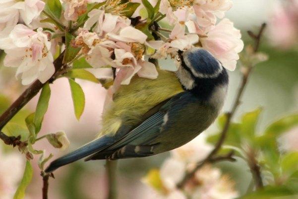 mesange bleue parc bercy Paris blue tit 75 bird