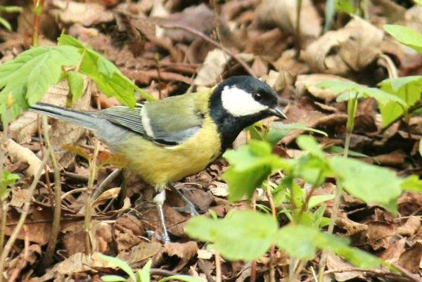 mesange charbonniere parc de bercy 75012 Paris mesange oiseau bird