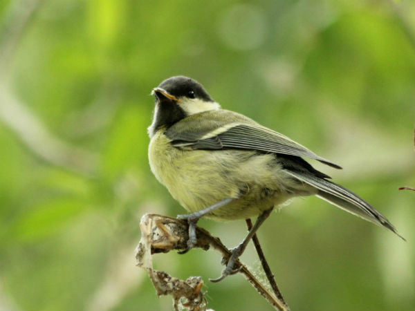 oisillon bebe mesange charbonniere Paris great tit