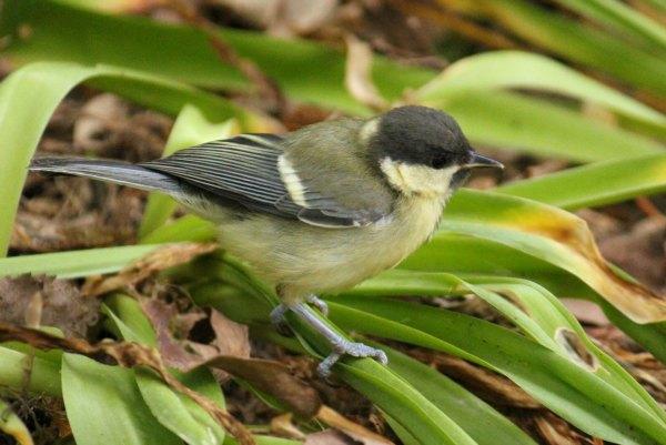 mesange charbonniere great tit parc de bercy Paris jardin bird oiseaux passereaux
