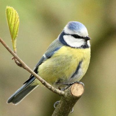 mesange bleue blue tit parc de bercy Paris bird oiseaux libre passereaux 75012