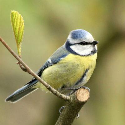 mesange bleue blue tit parc de bercy Paris bird oiseaux libre passereaux