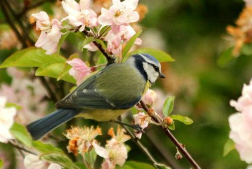 mesange bleue blue tit Paris parc de bercy bird oiseaux libre passereaux 75
