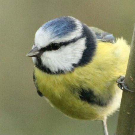 mesange bleue ?aris dans les jardins parcs - blue tit - bird oiseaux passereaux