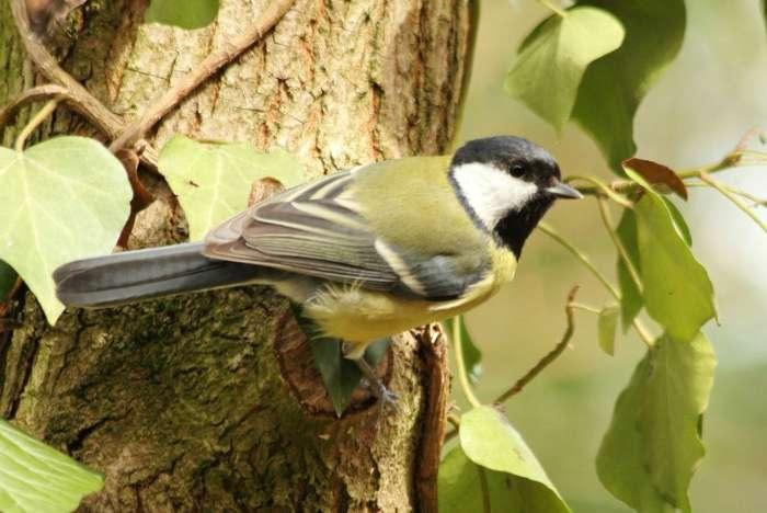 mesange charbonniere à Paris dans les jardins parcs de sceaux - great tit - bird oiseaux passereaux