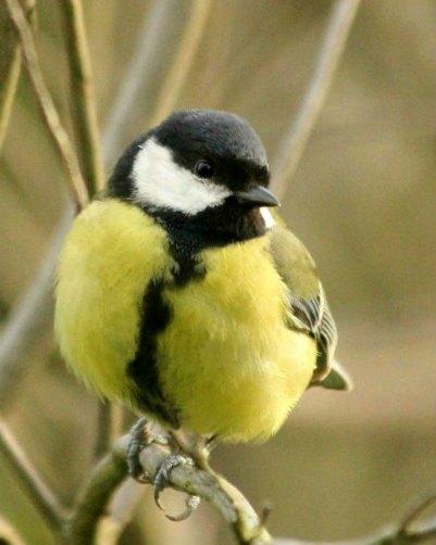 Mesange charbonniere parc de bercy Paris bird oiseaux