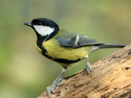 mesange charbonniere à Paris dans les jardins parcs - great tit - bird oiseaux passereaux