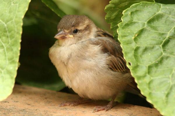 oisillon bebe moineau domestique Paris house sparrow