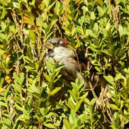 moineau domestique house sparrows paris parc de bercy plume male femelle couple couvee nid