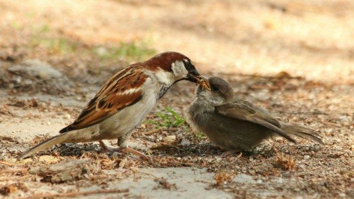 moineau domestique - house sparrows paris parc de Bercy