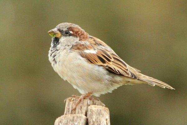 moineau domestique parc des tuilleries à Paris - House Sparrow