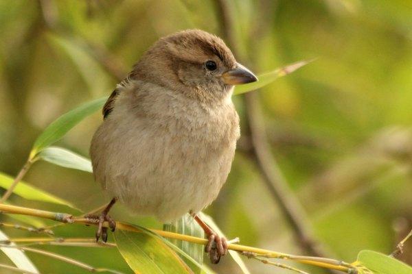 moineau domestique parc de bercy à Paris - House Sparrow