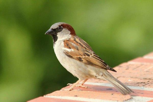 moineau domestique parc de Bercy Paris - house sparrows - 75 bird oiseaux