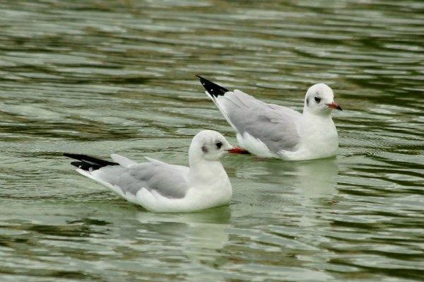 mouette rieuse gull Paris jardin des tuilleries oiseaux bird mer plume port seine bateau poisson