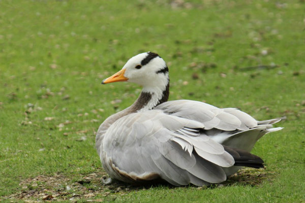 Oie tete barree parc Montsouris Paris bar-headed goose