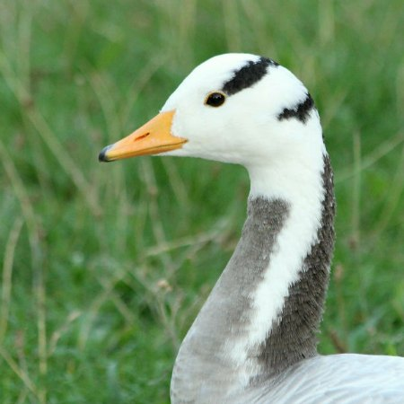 Oie tete barree parc Montsouris Paris bar headed goose Paris
