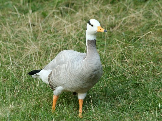 Oie tete barree parc Montsouris Paris bar headed goose
