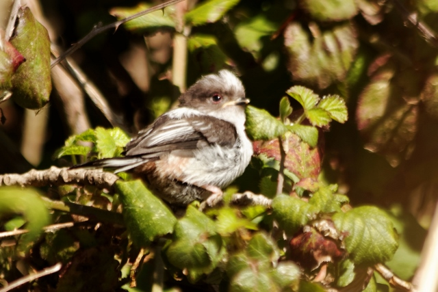 oisillon bebe mesange à longue queue parc à Paris - long tailes tit