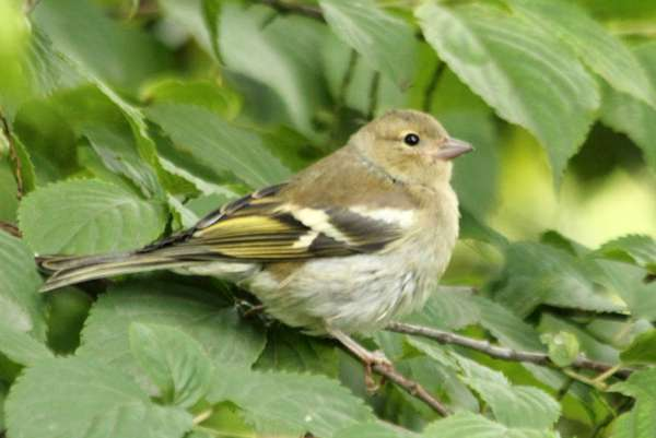 oisillon bebe pinson des arbres Paris Common Chaffinch