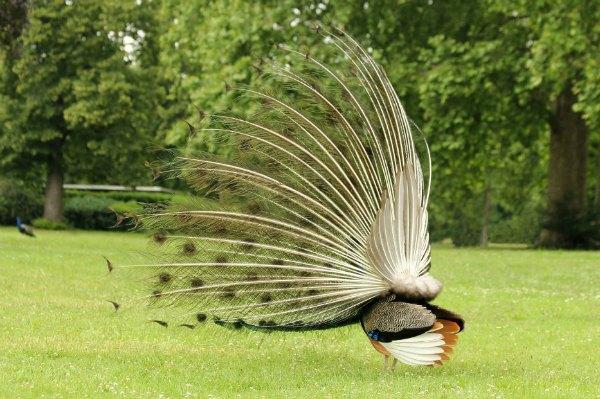 paon bleu fait roue Paris blue peacock Vincennes lac daumesnil