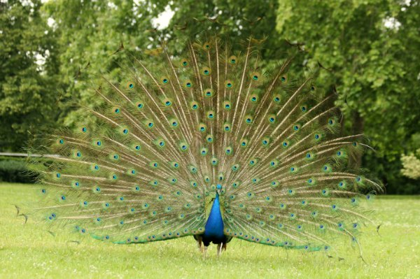 paon bleu fait roue Paris peacock Vincennes lac daumesnil