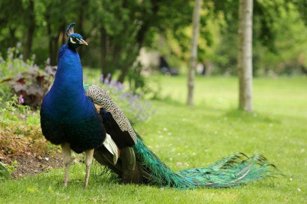 Paon bleu lac de daumesnil bois de Vincennes 75 Paris peacocock peahen paonne paonneaux ile de bercy