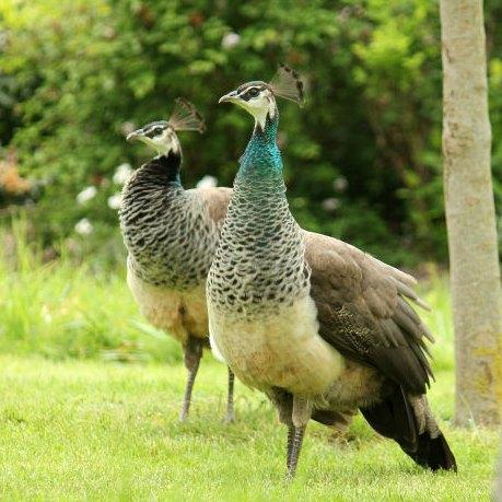 Paonne paon bleu lac de daumesnil bois de Vincennes 75 Paris peacocock peahen