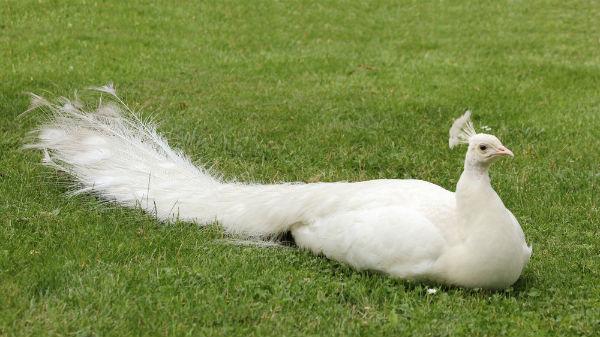 paon bleu blanc jardin d`acclimatation paris mutation alba peacock