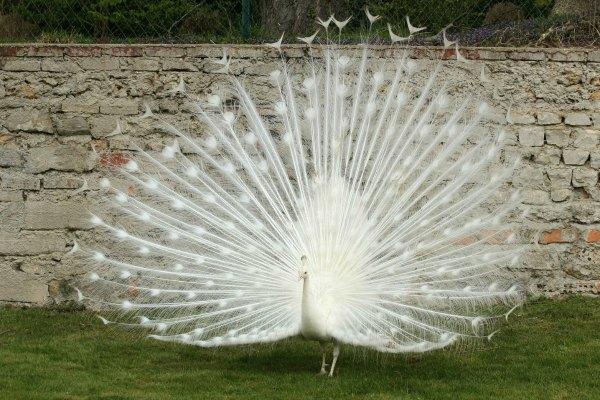 paon blanc Paris white peacock jardin acclimatation neuilly bois de boulogne