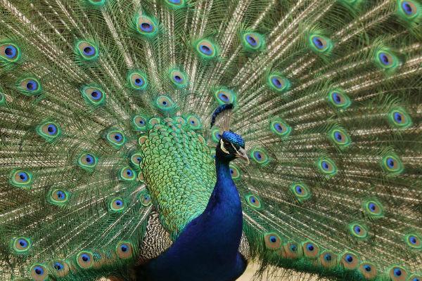 Paon bleu fait la roue parc Floral Paris Vincennes peacock spreads its tail