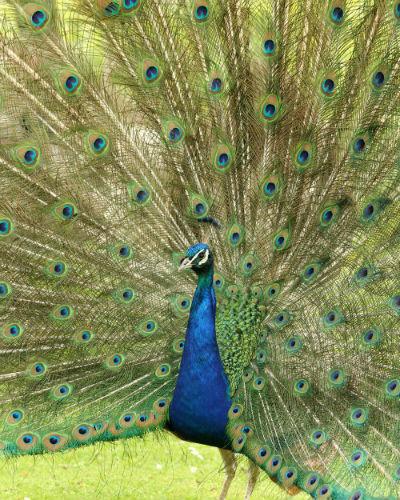 Paon bleu fait roue jardin acclimatation neuilly bois de boulogne 75 Paris peacocock whell peahen paonne paonneaux