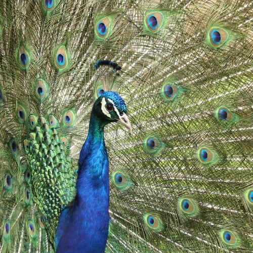 paon bleu fait roue jardin d`acclimatation Paris peacock blue whell bois de boulogne neuilly