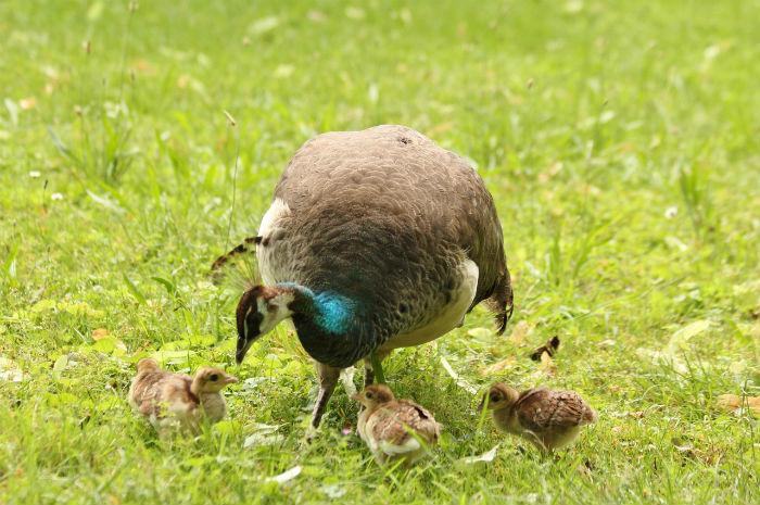 paonne et paonneaux bleu lac Daumesnil Vincennes Paris - peacock