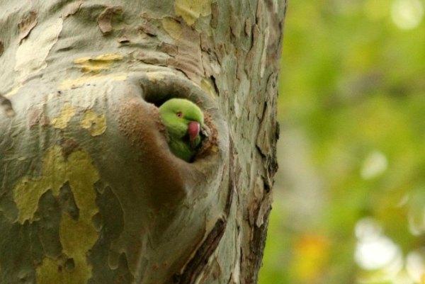 perruche a collier à Paris - Vincennes au lac daumesnil - rose ringed parakeet