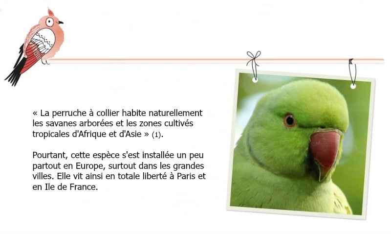 perruche a collier vert parc de sceaux parakeet necklace Paris ile de France