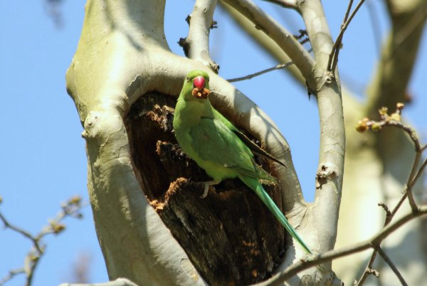 Perruche a collier Paris st Mandé - Rose ringed Parakeet