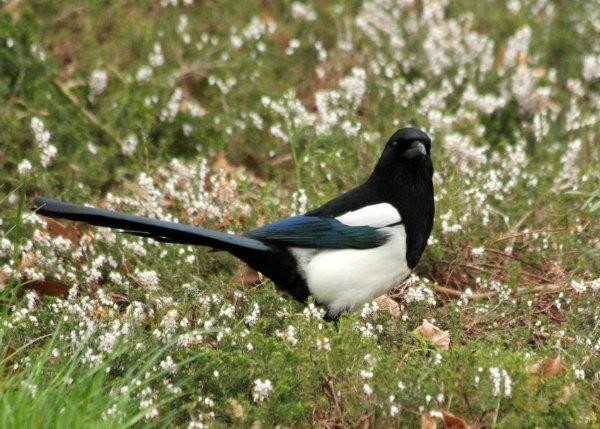 pie bavarde magpie Paris parc oiseau bird plume