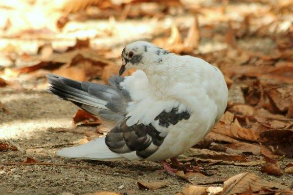 pigeon biset feral rock pigeon Paris oiseaux bird plume pain miette rassemblement nid male femelle rue approupement