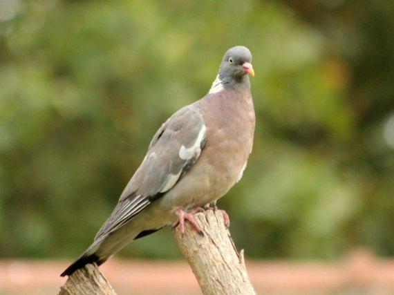 pigeon ramier wood pigeon Paris oiseaux bird plume pain miette rassemblement nid male femelle rue approupement
