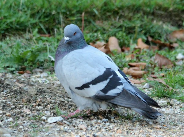pigeon biset feral rock pigeon Paris oiseaux bird plume pain miette