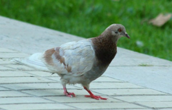 pigeon biset rock pigeon Paris oiseaux bird plume pain miette rassemblement libre bec parc parisien parc de bercy 75012 metro ligne 14 espace vert