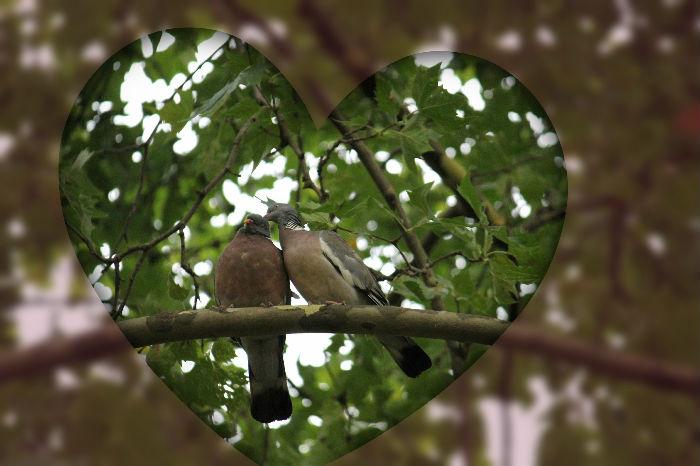 Pigeon ramier parc de bercy Paris wood pigeon