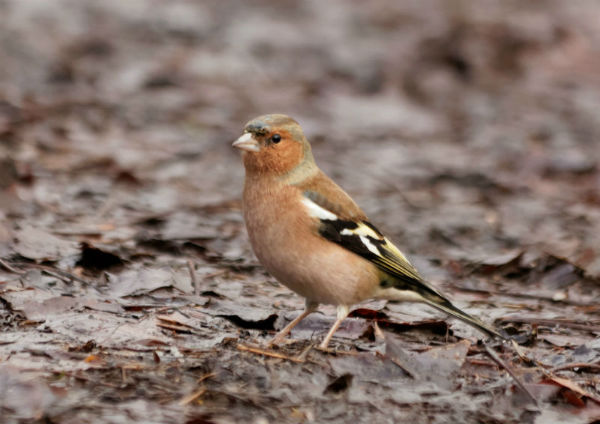 Pinson des arbres Paris Common Chaffinch