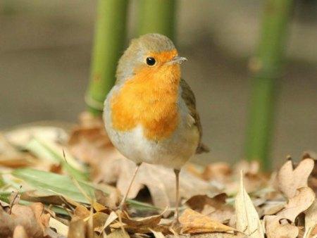 un rouge gorge familier à Paris robin au parc floral bird oiseau