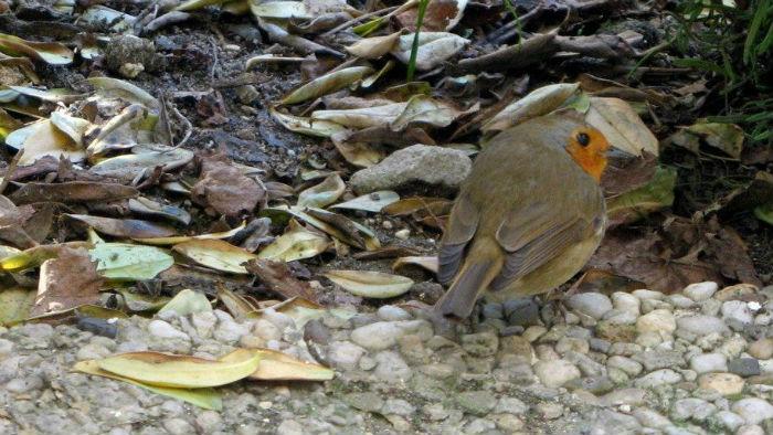 rouge gorge familier jardin paris robin bird oiseau