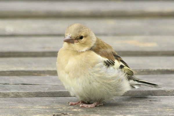 oisillon bebe verdier d`europe Paris European Greenfinch
